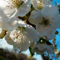 яблоня в цвету :: Люша