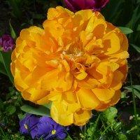 Солнечный тюльпан :: Лидия Бусурина