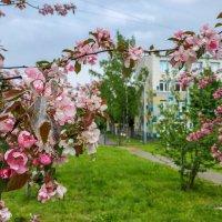 Яблони в цвету :: Роман Алексеев