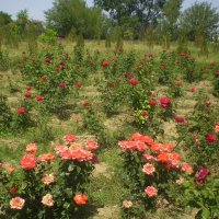 Миллион, миллион, миллион алых роз... :: Марина Валиуллина