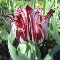 Причудливой формы тюльпан расцветает :: Galaelina ***