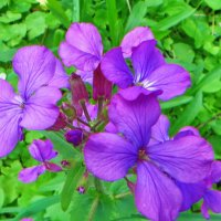 Лу́нник ожива́ющий, или Лу́нник многоле́тний (лат. Lunaria rediviva) :: ivan