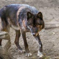 Волк :: SanSan