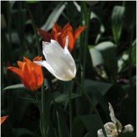 тюльпаны :: sv.kaschuk