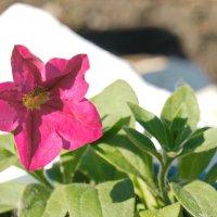 Петуния цветет. :: сергей