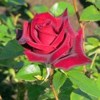 Роза :: Вера Щукина