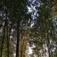 Деревья - великаны :: Ирина Бондарева