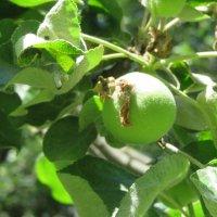 Зелёные яблочки в нашем парке. :: Зинаида