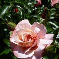 Роза в парке Сокольники :: Лидия Бусурина