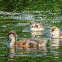 Малыши на пруду. :: Зинаида