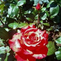 Алая роза :: Владимир Бровко
