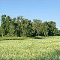 Пшеничное поле. :: Валерия Комова