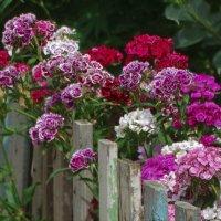 Красота за забором :: Елена Макарова