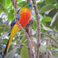 Красногрудый травяной попугайчик. :: Вадим Синюхин