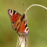 снова о бабочках...65 :: Александр Прокудин