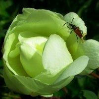 Дивная роза :: Ольга Довженко