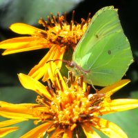 Бабочка на бузульнике :: Ольга Довженко