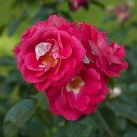 розы :: vladimir