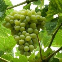 Гроздь винограда :: Инга Егорцева
