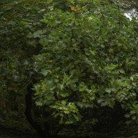 Тюльпановое дерево :: Александра