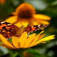 и снова бабочки...10 :: Александр Прокудин
