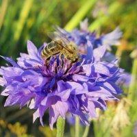 Пчелка за работой... :: Нэля Лысенко