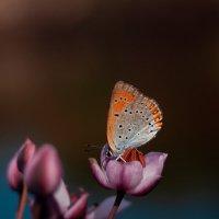 Бабочка в профиль :: Лихо Одноглазое