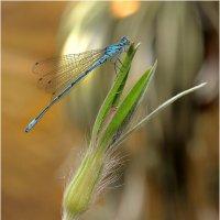 Coenagrion pulchellum - Стрелка красивая :: Bo Nik