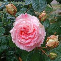 Розы после дождя :: Эля Юрасова