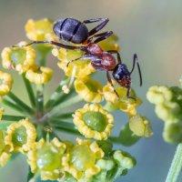 Рыжий лесной муравей :: Игорь Сарапулов