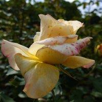 Осенние розы… осенние розы…... :: Galina Dzubina