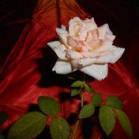 Японский зонтик и домашняя роза. :: Наталья Захарова