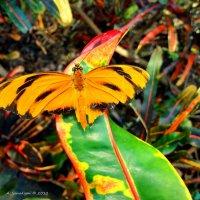Бабочка :: Arman S