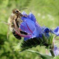 Пчела и цветок :: Татьяна Жуковская