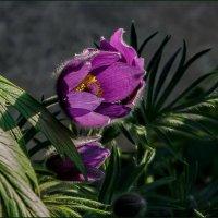 Недолгий миг цветения :: Наталья Rosenwasser