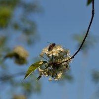 Яблони цвет :: Владимир Смирнов