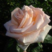 Роза :: Надежда Калмыкова