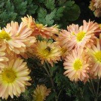 Хризантемы с пчелой. :: Ляля .