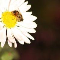 Жу-жу-жу маленька бджілка :: Даша Фингарет