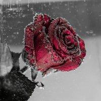 Роза :: Жанна Мальцева