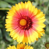 flower :: Irene Farkh