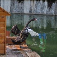 черный лебедь :: Александр 6769