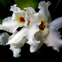 Моя орхидея. :: Тамара Бучарская