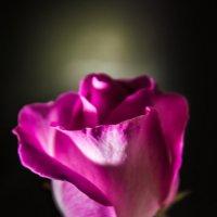 роза :: Олег Рыжков