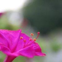 Цветок :: Ева Тарасевич