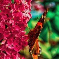 бабочка :: Геннадий Краликаускас