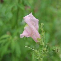 Цветок собачка :: Нургали Алибаев