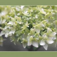 Расцветающая гортензия :: Olenka