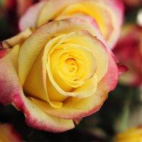 rose :: Oxana Epifanova
