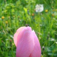 Тюльпан настоящий :: Mariya laimite